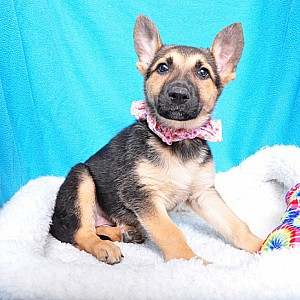 German Shepherd Details -  ID: 71