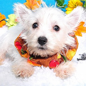 West Highland White Terrier Details -  ID: 35