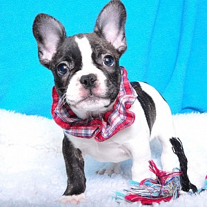 French Bulldog Details -  ID: 72