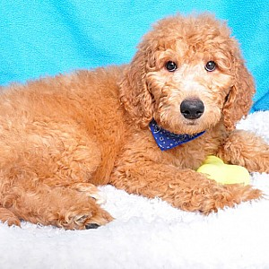 Goldendoodle Mix Details -  ID: 31