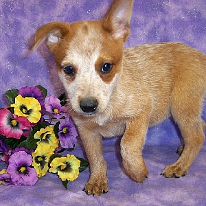 Australian Cattle Dog Details -  ID: 104
