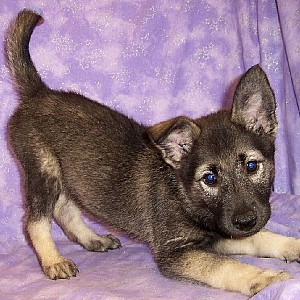 Norwegian Elkhound Details -  ID: 53