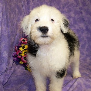 Old English Sheepdog Details -  ID: 52