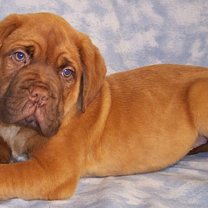 Dogue De Bordeaux Details -  ID: 75