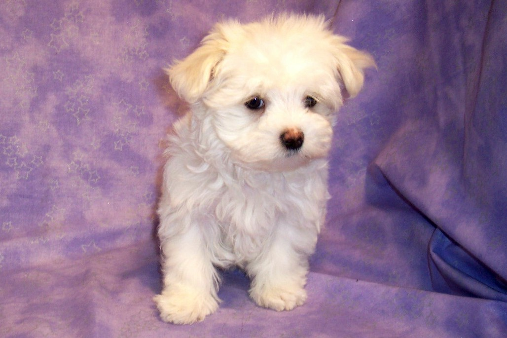 Related Pictures maltese puppy haircut puppies dogs