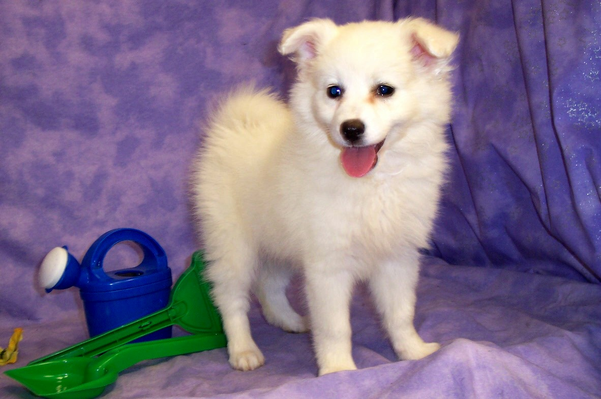 American Eskimo Dog Nj - More information