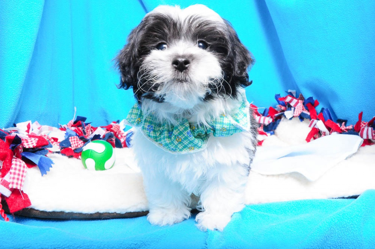 Breeds In Stock - Green Brook, NJ : Shake A Paw - New Jersey's Puppy